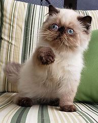 gatinho-gato-gatil-filhote-rj-persa-fofo