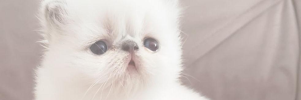 gato-filhote-persa.jpg