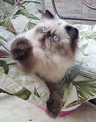 gato-persa-gatil-rj-himalaio.jpg