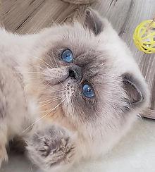 gato-persa-gatil-rj-olhos-azuis-melhor-o
