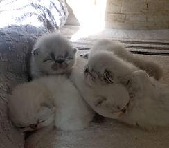 gatos-filhotes-persa-venda-gatil-melho-r