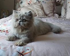 gato-persa-gatil-rj-filhote-melhor-lilaz