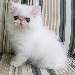 gato-gatil-rj-filhote-melhor-persa-branc