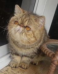 gato-persa-dinigre-melhor-gatil-margot.j