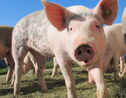 More Pork CSA Shares Available!