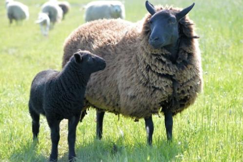 Half Grass Fed Lamb Deposit