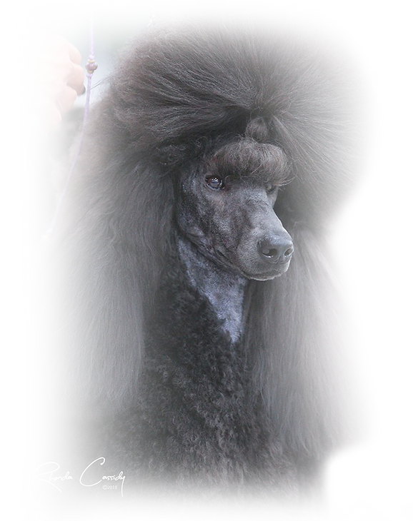 Poodle Head fade 3.png