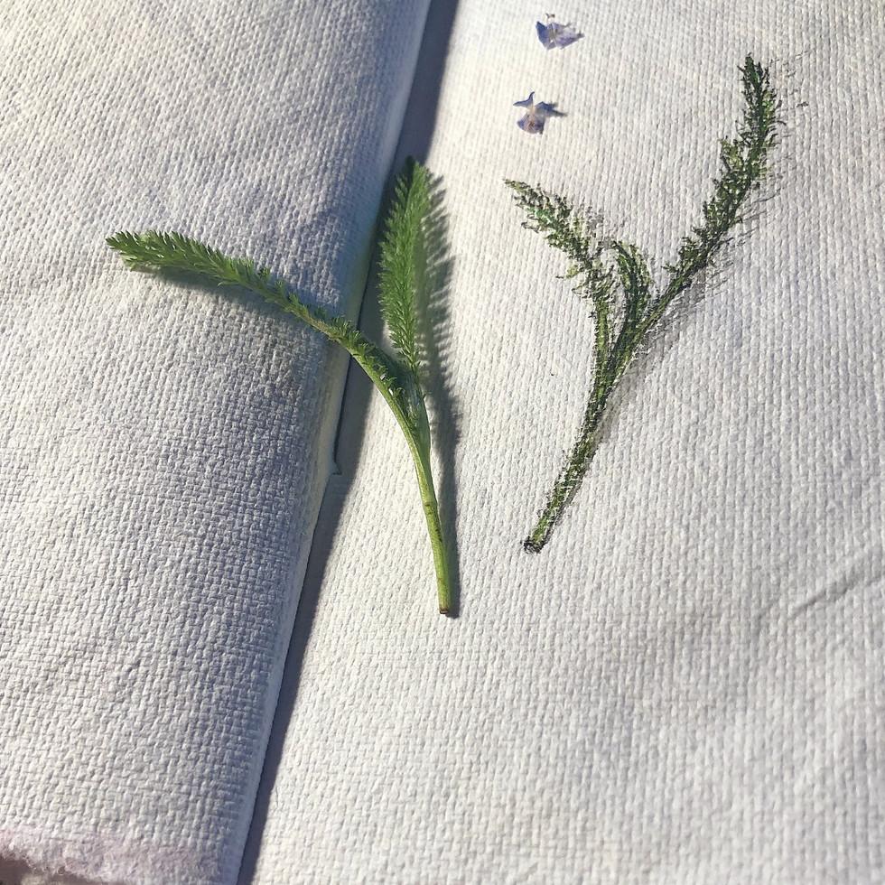 Skizzenbuch- Blätter junger Schafgarbe