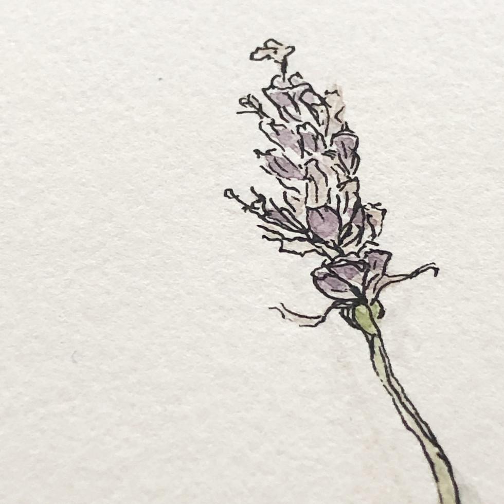 Lavendel- kleine Skizze