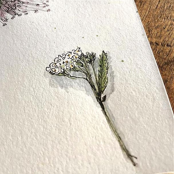 kleine Schafgarbe- handgefertigte Zeichnung