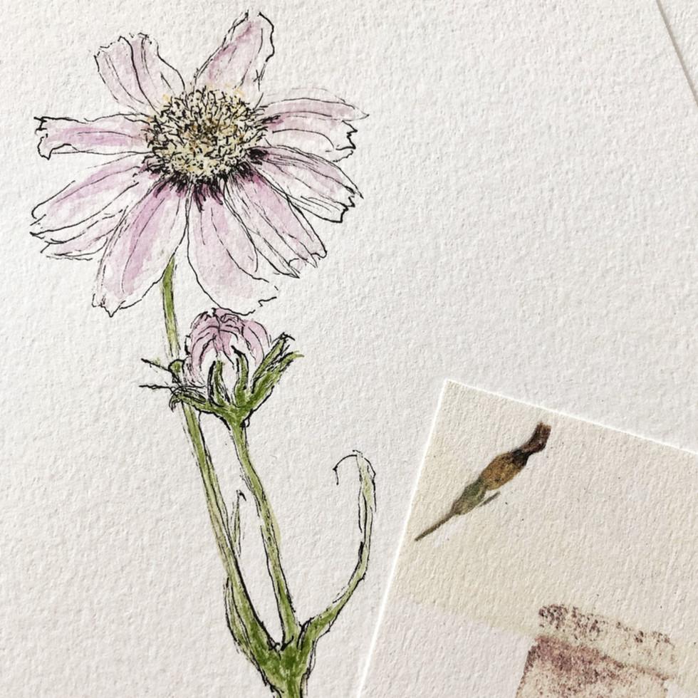 Cosmea- kleine Skizze