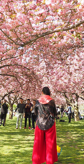 Woman standing in front of cherry blossoms in full bloom