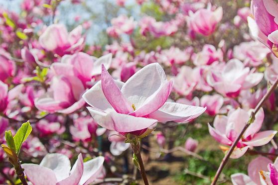 blooming-garden-magnolia-trees.jpg