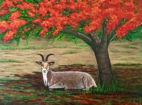 Goat under Flamboyant