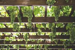 hanging grapes.jpg
