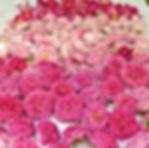 la_rose_pétale_contre_pétale.jpg