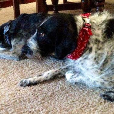 schatzi-and-max wearing Calming Collars