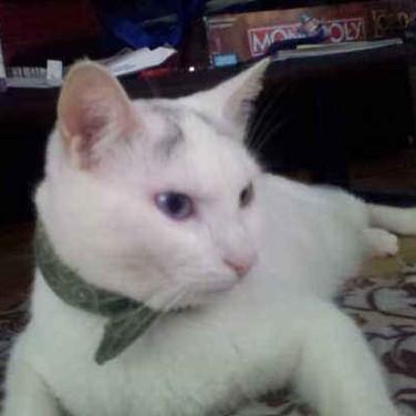 kittypryde wearing a Calming Collar