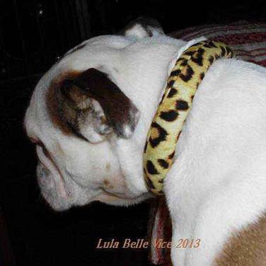 lula-belle in a Calming Collar