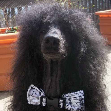 jazzpoodle looking sharp in a Calming Collar