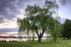willowtree-1024x682.jpg