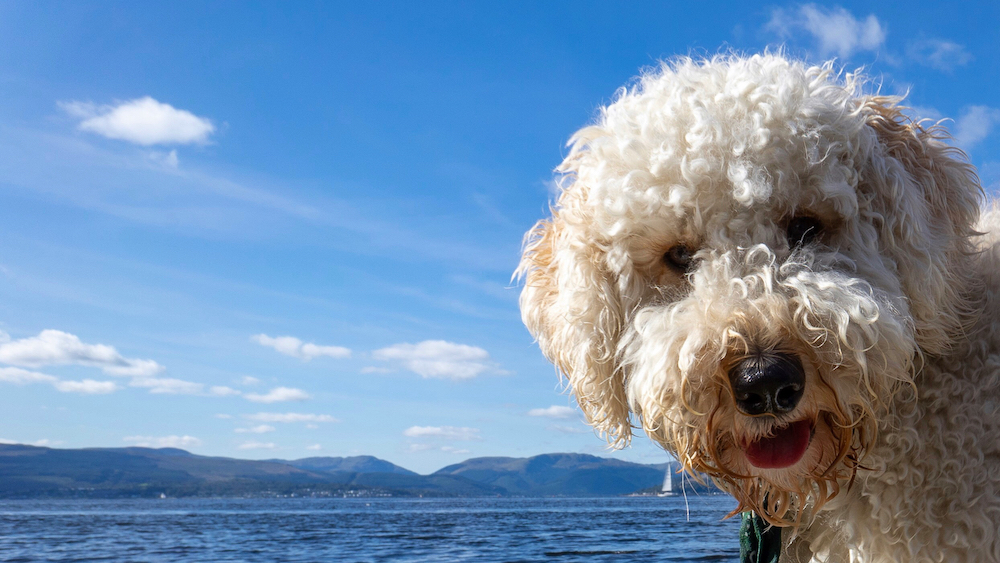 Buy-Photos-River-Clyde-Labradoodle-Scotl