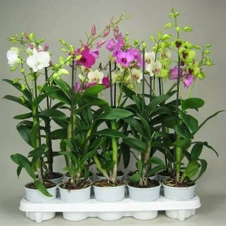 Hoa lan hữu cơ - Hoa lan hóa học
