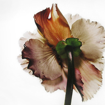 Irving Penn, Tuberous Begonia, New York, 1973