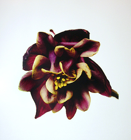 Irving Penn, Columbine/Aquilegia vulgaris: William Guiness, New York, 2006