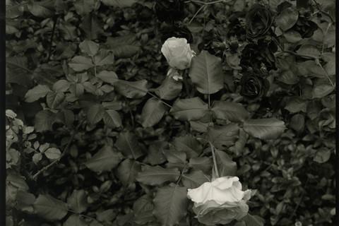 Nicholas Nixon, Brookline, 2011