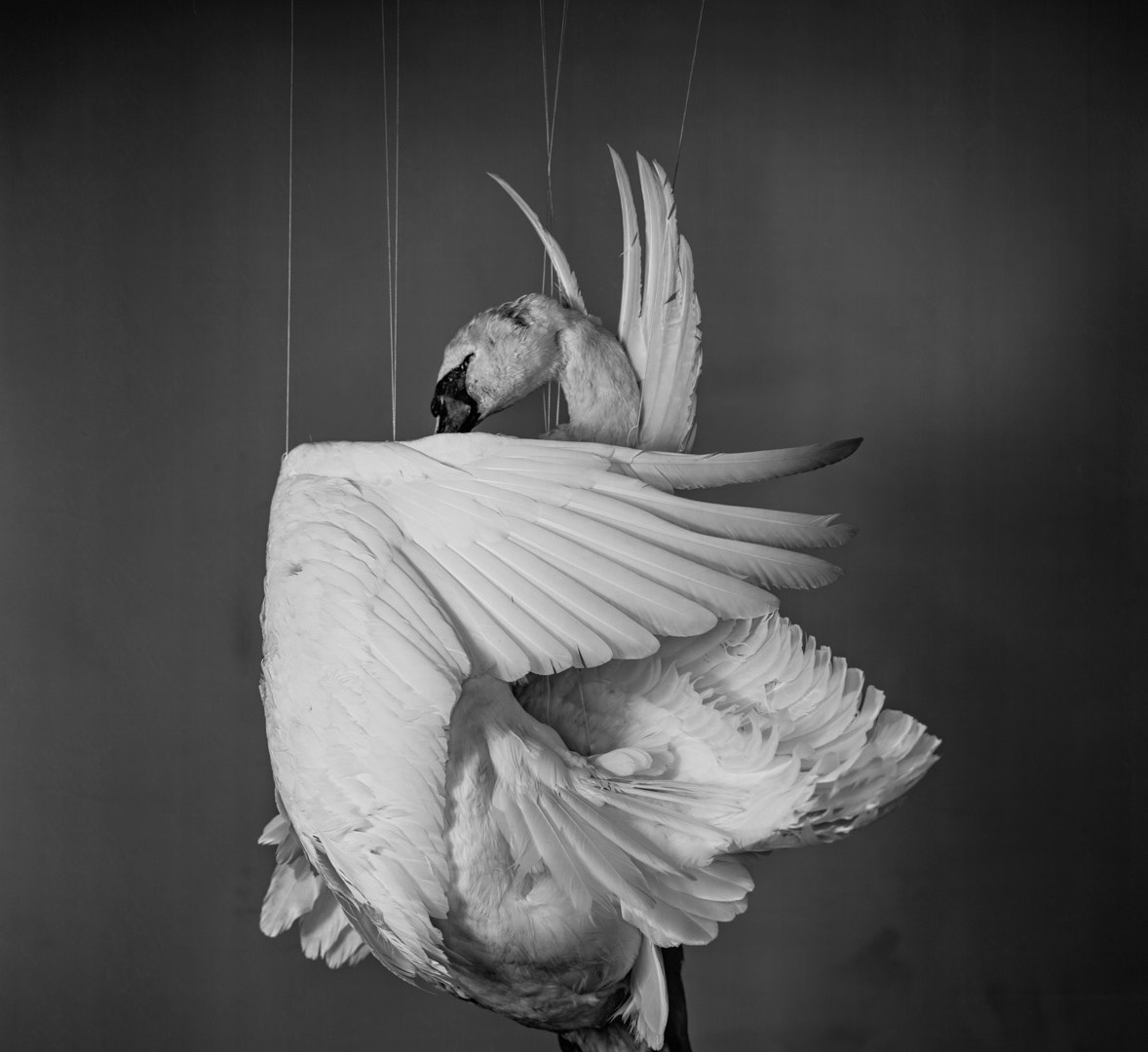 Richard Learoyd, Swan, 2013