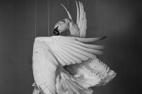 Richard Learoyd, Swan, 2013