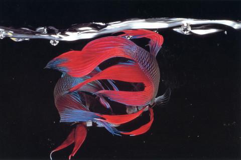 Hiro, Betta Splendens, New York City, 1983
