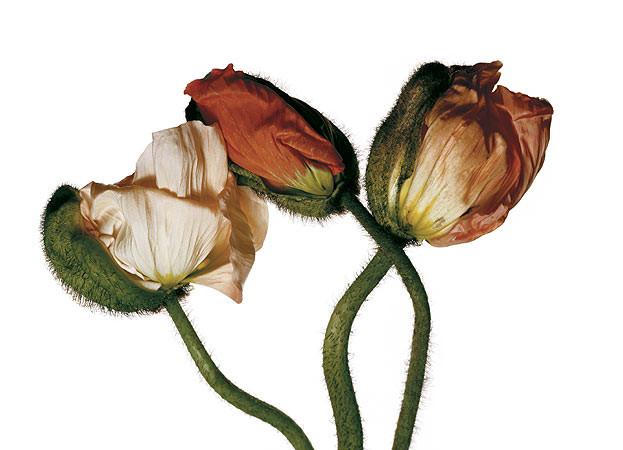 Irving Penn, Iceland Poppy/Papaver nudicaule (E), New York, 2006