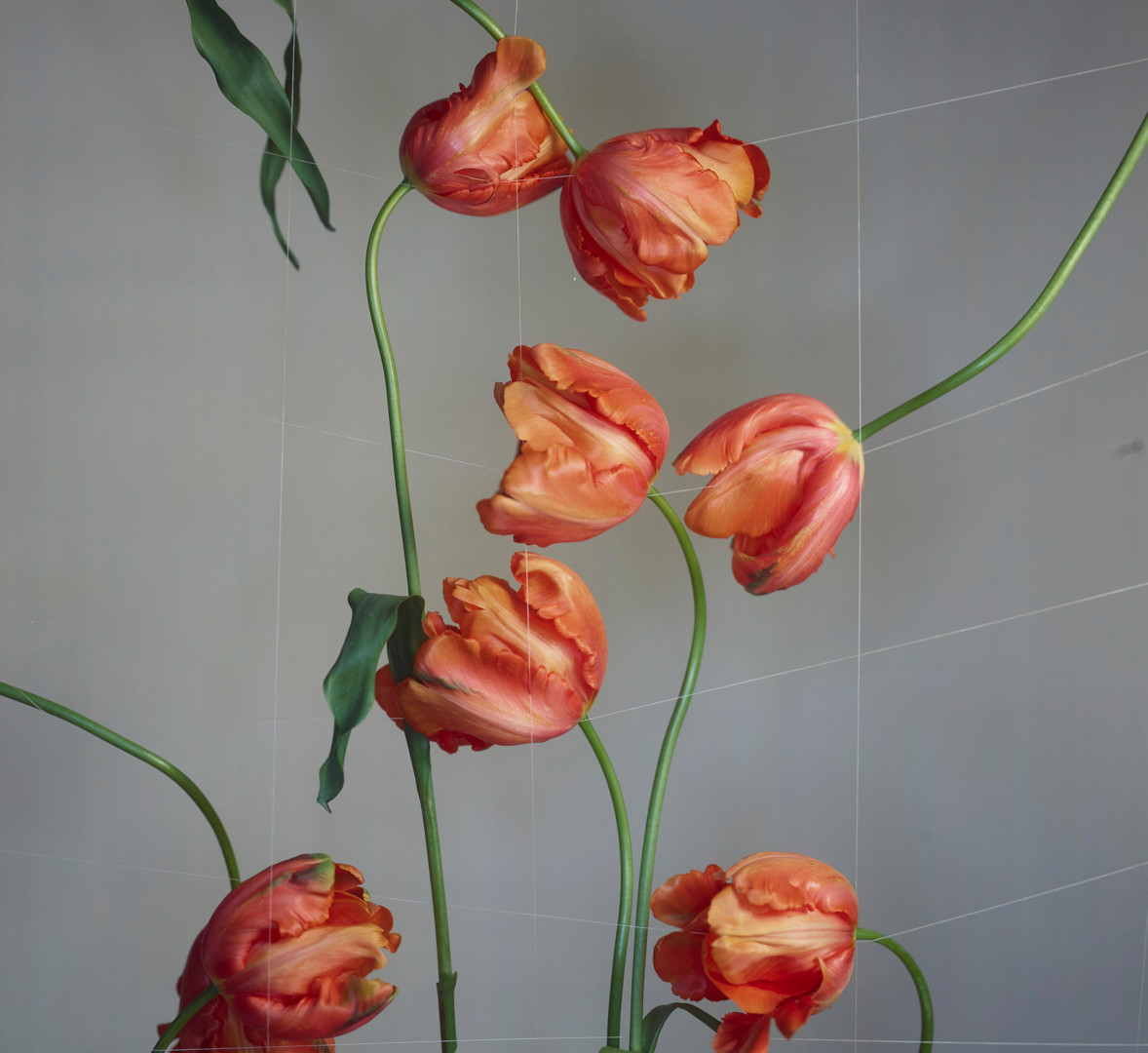Richard Learoyd, French Tulips with Cotton Grid, 2018