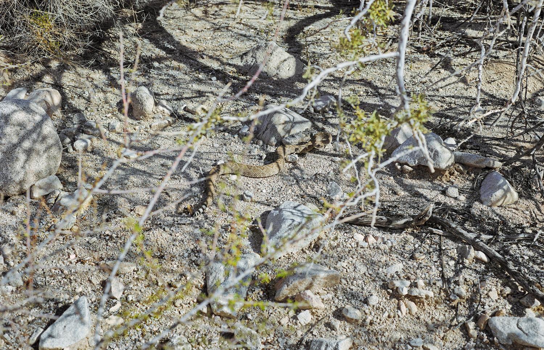 Mark Klett, Rattlesnake attempting to flee, 2013