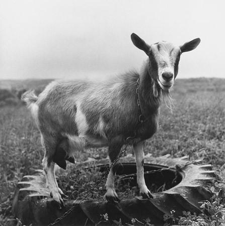 Peter Hujar, Goat, Westown, NY, 1978