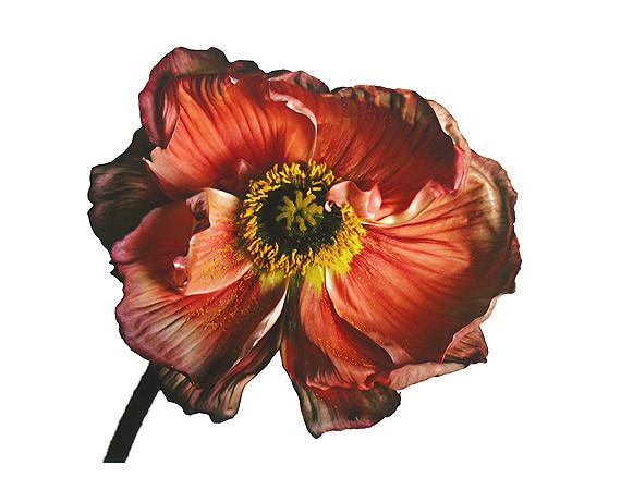 Irving Penn, Iceland Poppy/Papaver nudicaule (A), New York, 2006