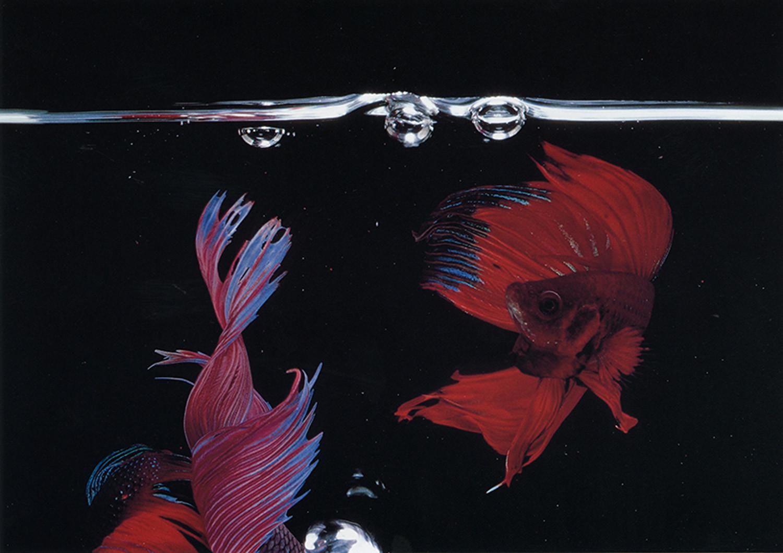 Hiro, Betta Splendens, New York City, 1984