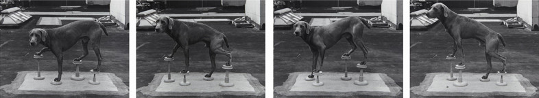 William Wegman, Man Ray on Stilts, 1975