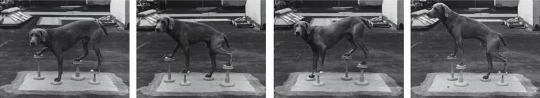 William Wegman, Man Ray on Stilts, 1975
