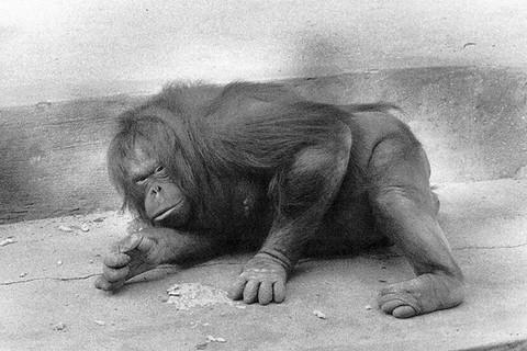 Garry Winogrand, Orangutan, ca. 1963