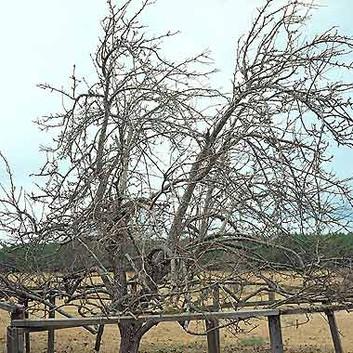 William Christenberry, Pear Tree, near Akron, Alabama, January 2000