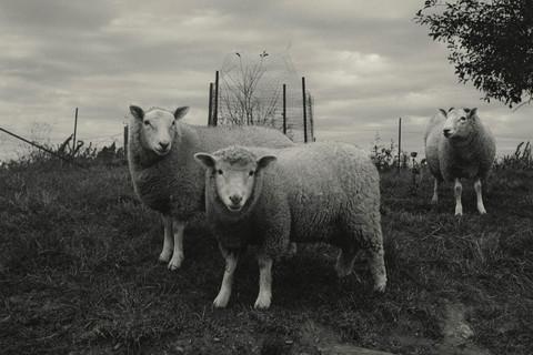 Peter Hujar, Sheep, Pennsylvania, 1969