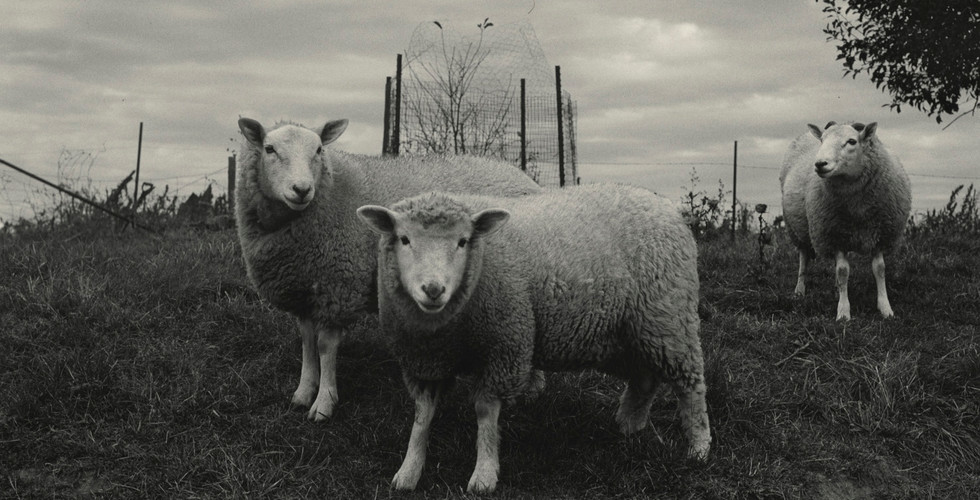 Peter Hujar, Sheep, Pennsylvania, 1969