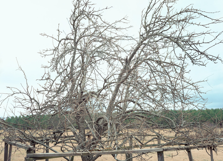 William Christenberry, Pear Tree, near Akron, Alabama, January, 2000