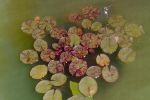 Jocelyn Lee, Untitled pinhole (lily pads in Mom's garden), 2008