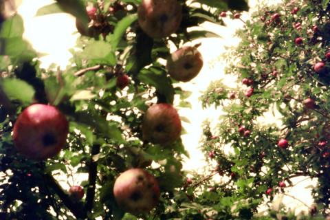Jocelyn Lee, Untitled pinhole (apple tree from below), 2008