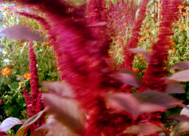 Jocelyn Lee, Untitled pinhole (blowing amaranth at Mr. Jordan's farm), 2008