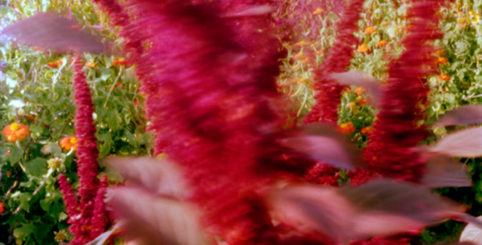 Jocelyn Lee, Untitled pinhole (blowing amaranth at Mr. Jordan's farm), 2008